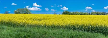 开花的油菜籽领域全景 库存图片
