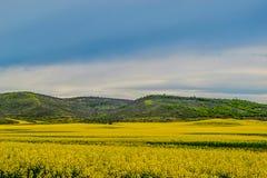 开花的油菜籽领域的好的看法 库存照片