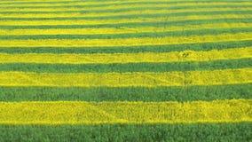 开花的油菜籽黄色和绿色许多小条在农业领域天线 股票录像