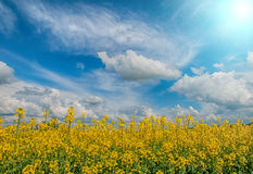 开花的油菜籽 库存照片