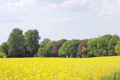 开花的油菜领域和树在春天 免版税库存图片