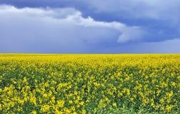 开花的油菜领域 库存图片