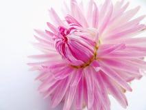 开花的浅粉红色的大丽花花 免版税库存图片