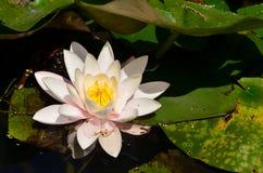 开花的浪端的白色泡沫百合花,特写镜头 免版税库存图片