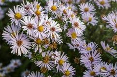 开花的淡粉红的菊花,绿草 图库摄影