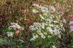 开花的淡粉红的菊花,绿草 免版税图库摄影
