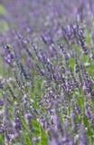 开花的淡紫色在夏天 免版税库存图片