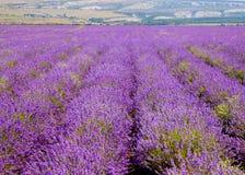 开花的淡紫色的领域 免版税库存照片