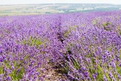 开花的淡紫色的领域 免版税图库摄影