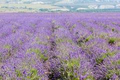 开花的淡紫色的领域 库存图片