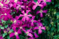 开花的淡紫色铁线莲属花 免版税库存照片