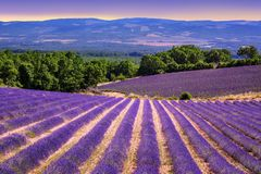 开花的淡紫色领域在普罗旺斯,法国 库存图片