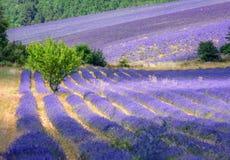 开花的淡紫色领域在普罗旺斯,法国 图库摄影