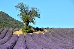开花的淡紫色领域,与一棵树、一座山和蓝天在背景中 免版税库存图片