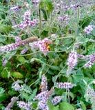 开花的淡紫色,蜂在花被观察 免版税库存照片
