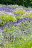 开花的淡紫色 库存照片