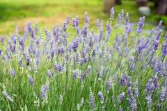 开花的淡紫色在希腊 免版税库存图片
