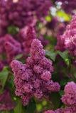 开花的淡紫色树 免版税库存照片