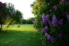 开花的淡紫色灌木在庭院里 免版税库存图片