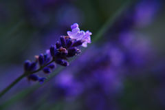 开花的淡紫色特写镜头 免版税库存图片