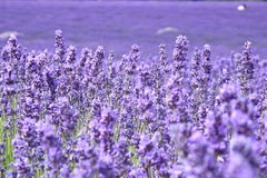 开花的淡紫色领域 免版税库存图片