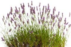 开花的淡紫色 免版税图库摄影