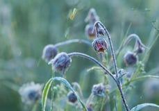 开花的溪边水杨柳,与早晨霜的水杨梅rivale 图库摄影