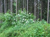 开花的灌木接骨木花老黑 库存照片