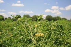 开花的灌木蕃茄 库存图片