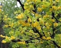 开花的灌木金合欢 库存照片