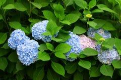 开花的灌木霍滕西亚 免版税图库摄影