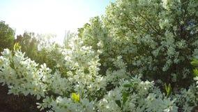 开花的灌木chubushnik 股票视频