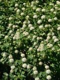 开花的灌木spirea 库存图片