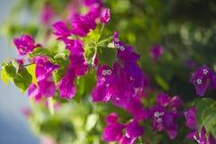 开花的灌木syarkimi在被弄脏的背景开花 免版税库存图片