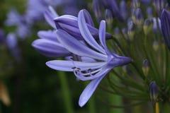 开花的爱情花africanus,蓝色花 免版税图库摄影