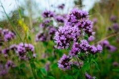 开花的牛至(牛至属植物vulgare)在一个狂放的草甸 图库摄影