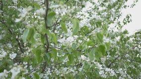 开花的狂放的梨在庭院里 春天开花的树 梨花的授粉  股票视频