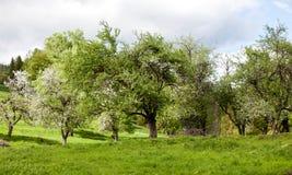 开花的狂放的老果树园 库存图片