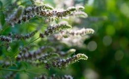 开花的狂放的薄荷 绿色夏天庭院 免版税库存照片