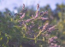 开花的狂放的薄菏 紫色野花和绿色新鲜的叶子 库存照片