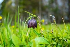 开花的狂放的贝母在草甸 库存图片