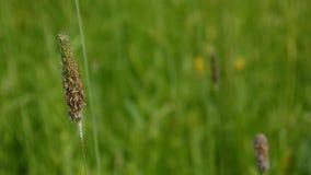 开花的猫尾草草关闭的耳朵射击的在草甸春天 Phleum 股票视频
