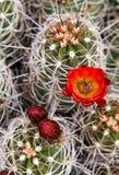 开花的猬仙人掌 图库摄影