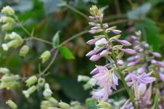 开花的玉簪属植物花在夏天庭院里 玉簪属植物Lancifolia美丽的紫色花在精美自然本底的 库存图片