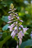 开花的玉簪属植物花在夏天庭院里 玉簪属植物Lancifolia美丽的紫色花在精美自然本底的 库存照片