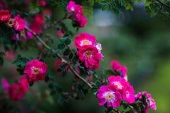 开花的玫瑰丛分支 库存图片