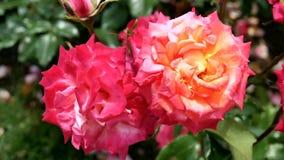 开花的玫瑰在一个晴朗的夏日 免版税库存图片
