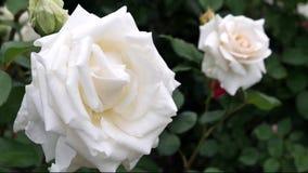 开花的玫瑰在一个晴朗的夏日 图库摄影