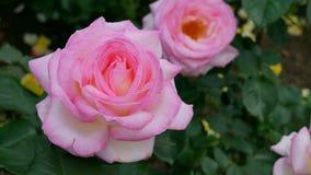 开花的玫瑰在一个晴朗的夏日 免版税库存照片