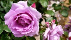 开花的玫瑰在一个晴朗的夏日 库存图片